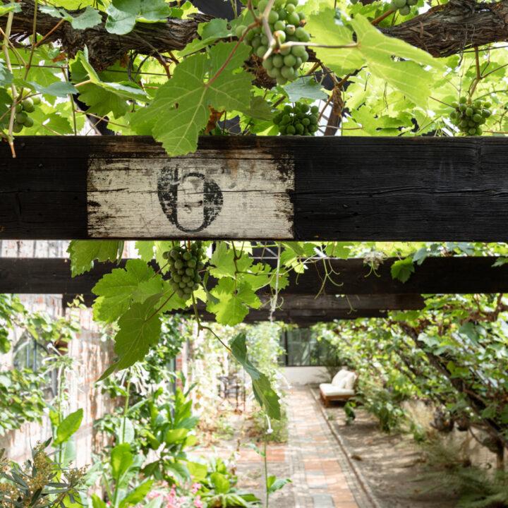 Druivenranken in een kas in Breda