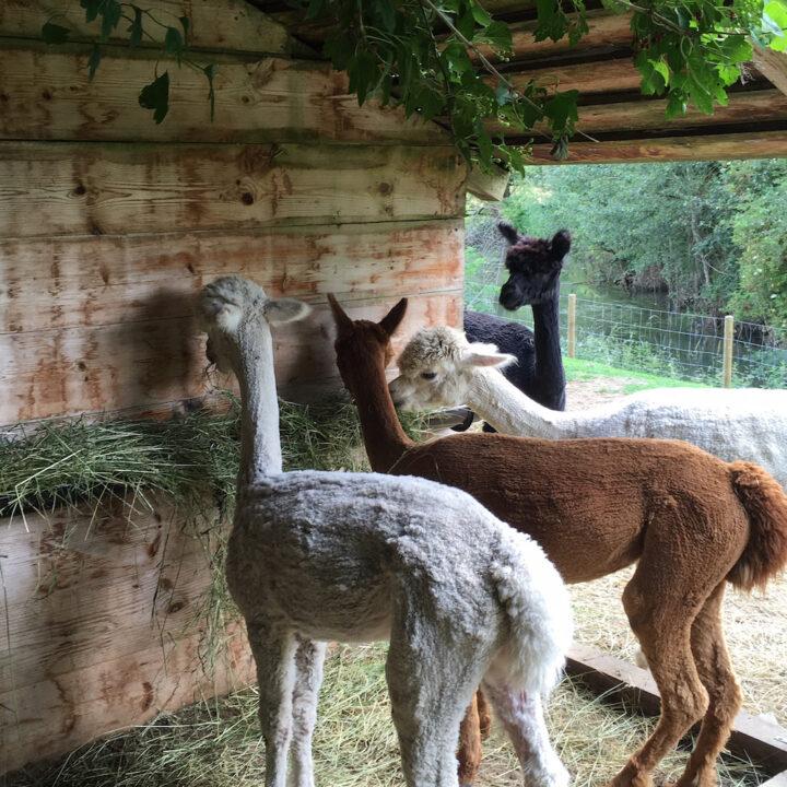 Alpaca's aan het eten