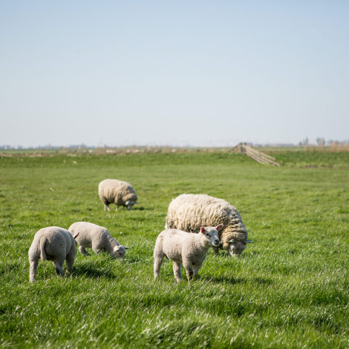 Schapen in de wei in Friesland