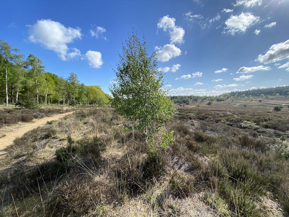 Het bos met heide op de Veluwe, prachtig wandelgebied