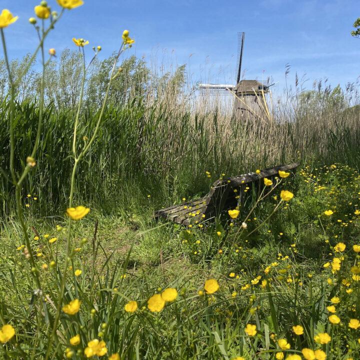 Molen tussen het gras met boterbloemen