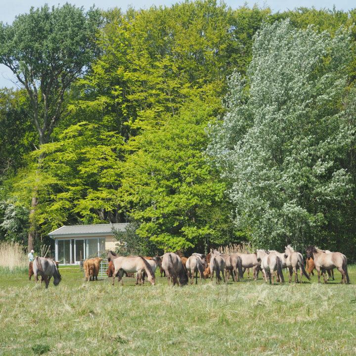 Vakantiehuis aan de rand van natuurpark met konikspaarden op de voorgrond