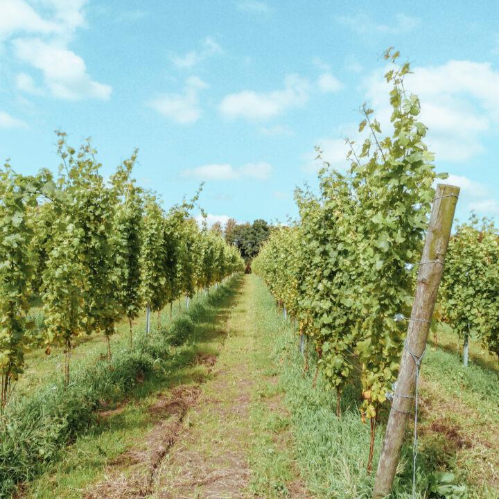 Wijngaard met wijnranken