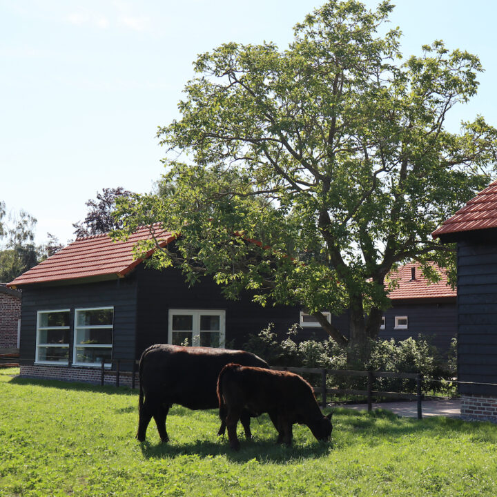 Koeien in de wei naast de huisjes