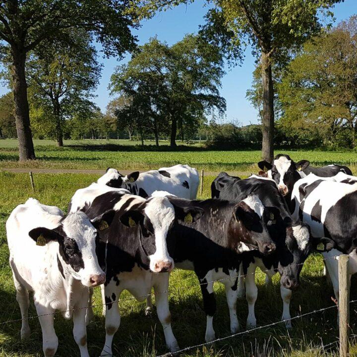 Koeien op een rij in de wei
