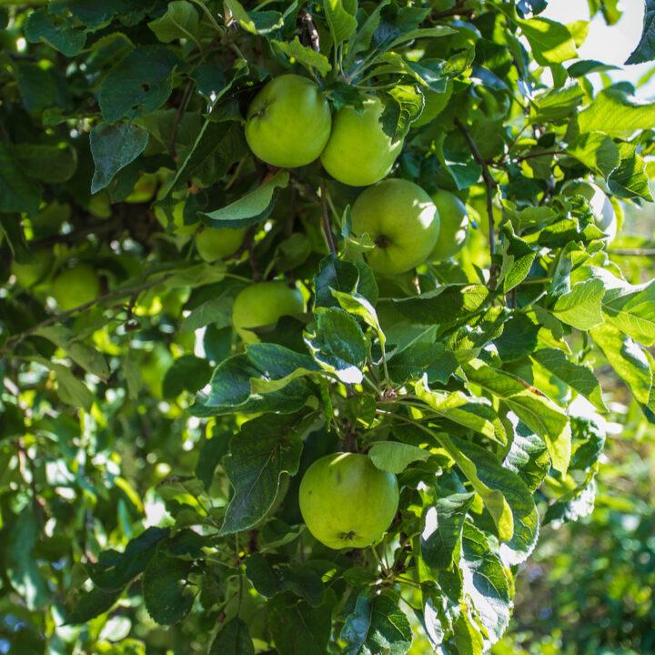 Appels aan de boom in de tuin