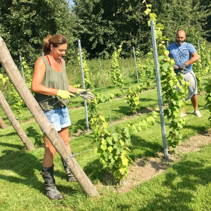Wijnranken begeleiden in de wijngaard