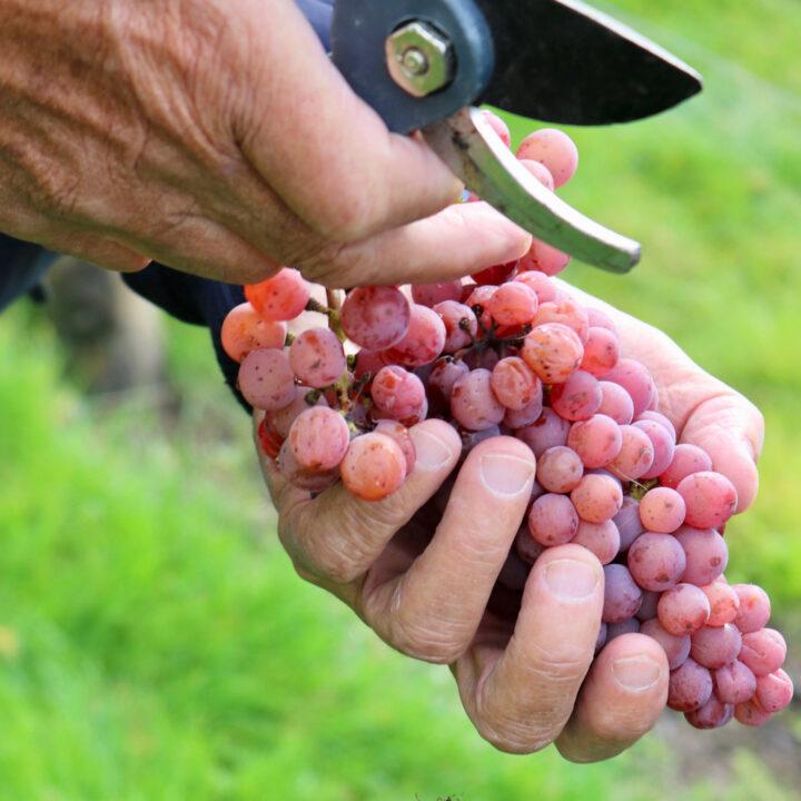 Tros druiven en schaar